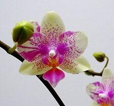Phalaenopsis Pistachio Caleidoskope blühend 4 Triebe Select 1 Orchidee Orchideen
