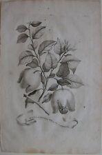 1696 MALUS CYDONIA FRUCTU CORNUTO original Abraham Munting botanica cotogno