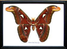 Real Giant Atlas Mothsฺ(M) Butterfly Insect Display Taxidermy in Wood Frame Gift