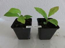 Magnolia salicifolia weidenblättrige Magnolie sehr selten Pflanze 13 cm