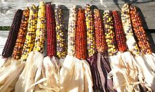 10 Decorative Indian Corn Cob Ears Colorful Large 7-10″ Grown and Dried 2020