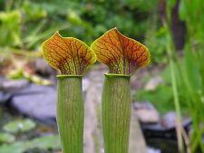 Carnivorous Sarracenia alata Collection 5 Plants Named Location