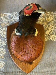Taxidermy pheasant Bird Animal Collectables > Taxidermy > Other Taxidermy