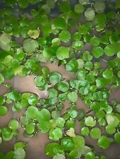 """Amazon """"Frogbit"""" 12 pcs free shipping. Buy 2 And Get A 3rd Bag For Free!!!!!"""