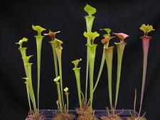 Carnivorous Sarracenia Pitcher Plant Conservatory Collection D