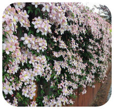 Clematis Montana 'Mayleen' Bare Root Plants x 3 Vigorous Pale Pink Climber