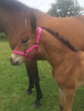 Pink, field safe, FOAL size 1... Or minature pony size head collar.