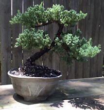Juniper Procumbens Bonsai tree in a brown+white 7inch ceramic pot. Made in Usa