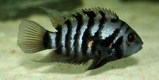 "Black Convict Cichlid 1-3"" live freshwater aquarium fish - BY GK HAPPY FARM"