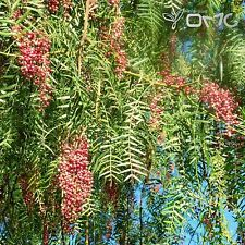 CALIFORNIA PEPPER TREE (Schinus Molle) 20+EXTRA seeds (#110)
