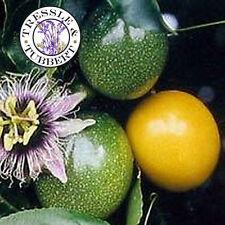 Rare thai jaune fruit de la passion, sao-wah-rohs - 5 graines-vendeur britannique