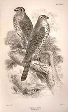 Bechstein's Caged Birds Engraving -1857- WHITE OWL