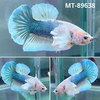 (MT-89638) Blue Rim Marble Dumbo Big Ear - Live Male Plakat Betta Fish - Grade A