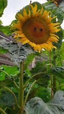 10 Samen Riesensonnenblumen bis zu 4 Meter hoch Schöne aussicht im garten