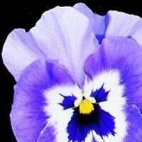Pansy - Joker Light Blue - 50 Seeds