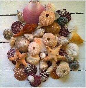 Assorted Mixed Seashells Set of 50 Starfish Urchins Scallops Quality Shells