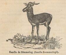 C8598 Gazella Soemmeringii - Stampa antica - 1892 Engraving