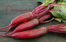 Cylindra BEET Organic Heirloom 100+ seeds sweet tender ideal for canning NON-GMO