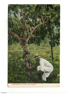 c1920 PC: Harvesting 5 Year Old Cocoa – Costa Rica