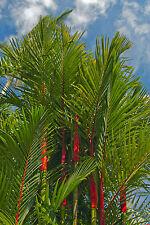 wunderschöner roter Stamm: die seltene Siegellack-Palme - ein Augenschmaus