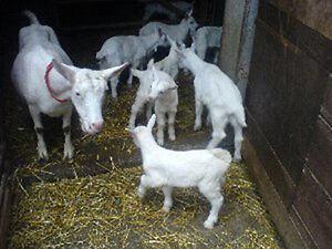 1 kg Ziegenmilchpulver, Ziegenvollmilchpulver, Ziegenmilch, Ziege PREMIUM !!