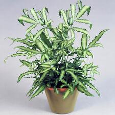 Pteris Albolineata | Best Indoor Plants | 25-35cm Potted Cretan Brake Fern