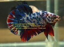 LIVE Betta fish Marble fancy Hmpk  male.934.Charmingbetta From Thailand.