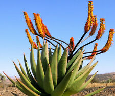 Aloe Spectabilis marlothii succulent rare agave hardy plant yard seed 100 SEEDS