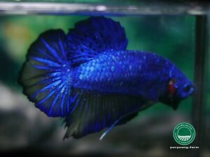 "Giant Mustard Gas HMPK male betta #0705 / 4.5 mo / 2.4"" / get bigger / nice form"