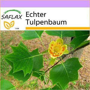 SAFLAX - Echter Tulpenbaum - 20 Samen - Liriodendron tulipifera