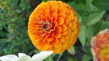 Zinnia elegant 300 seeds -Dahlia-giant -7 mix color double and simple flower