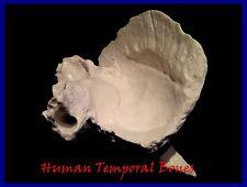 New Professional Human Temporal Bones Anatomy Model, UK Seller