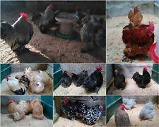 Lucky Dip Purebred Pekin Bantam Chicken Hatching Eggs (Believed Fertile) *Rare*