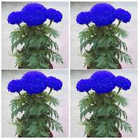 200Pcs Blue Marigold Maidenhair Seeds Home Garden Yard Edible Flower Plant Seed
