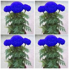 100 Blue Marigold Seeds Home Garden Edible Flower Plant Seed Chrysanthemum