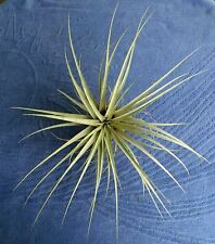 Tillandsia / Airplant / w/ Candelabra Inflorescence - Rare / Plant or Offset