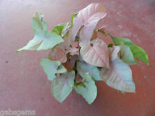 Syngonium NEON 1 x Healthy plant PINK Heart Shaped Hardy Indoors Garden Pots