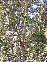 POPULUS ALBA alv 1 pianta di Pioppo bianco da talea Gattice White Poplar albero