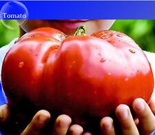 Heirloom Giant Monster Tomato Organic Seeds - 100 Seeds