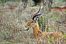 "Fotoleinwand ""Kenya Wildlife - Antilope"" 20 x 30 cm (weitere Formate)"