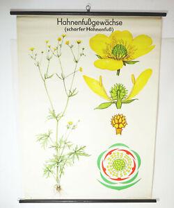 Vintage Carte à Rouler Bouton D'Or Famille Botanique Lehrkarte Tableau DDR Déco