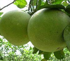 0,79€/St, Grapefruit Samen Baum Tree 5 Samen