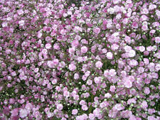 Schleierkraut Gypsophila repens Rosenschleier Sommerblüher