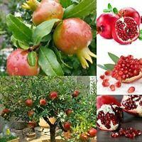 100pcs/lot, bonsai pomegranate seeds very sweet Delicious fruit, succulents Tree