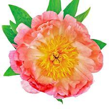 Paeonia Coral Sunset Pfingstrose Blume Rot Gelb Orange Staude Wurzel 1/5/10 St.