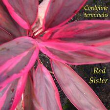 ~RED SISTER~ Cordyline terminalis COLORFUL TI Hawaiian Good Luck sm Potd PLANT