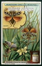Praying Mantis Insect Camouflage c1915 Trade Ad Card