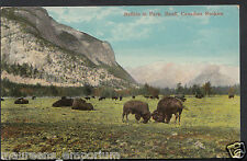 Canada Postcard - Buffalo In Park, Banff, Canadian Rockies  RT2040