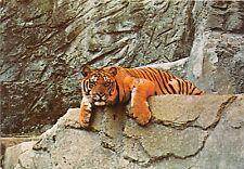 BF39438  zoo roma italy tigre tiger  animal animaux