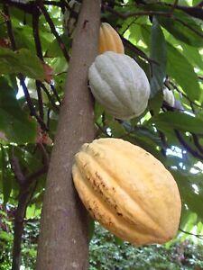 1 Cabosse de Cacao fraîche, 1 fresh Cocoa pod (Theobroma cacao)